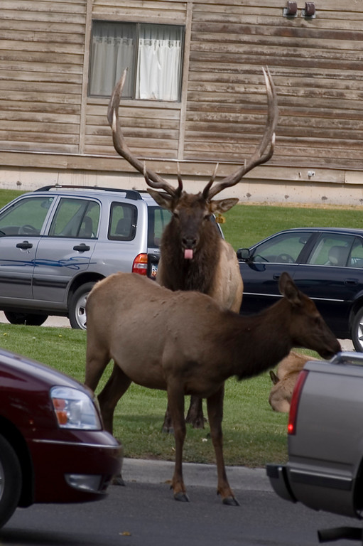Elk sticking out its tongue