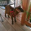 john Deere. the goat