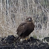 Ferruginous Hawk (juvenile dark morph)