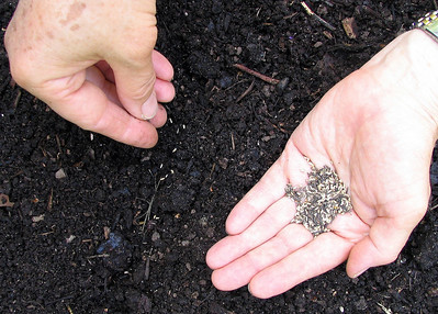 Here she seeds a salad mix named Mesclun.