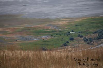 Herd of Bison on Antelope Island