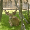 deer resting outside kitchen window