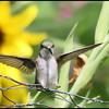 I was in the garden w my camera ..Female Ruby-Throat.