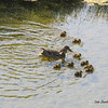 Mamma and her ducklings (She looks like she's kept pretty busy!)