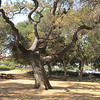 Old tree at Stanford.  They've left lots of open space on their campus.