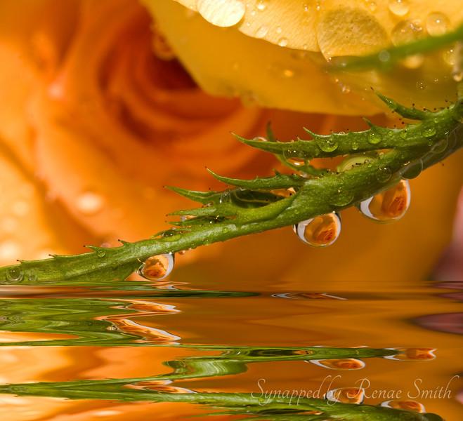 Roses in Flood