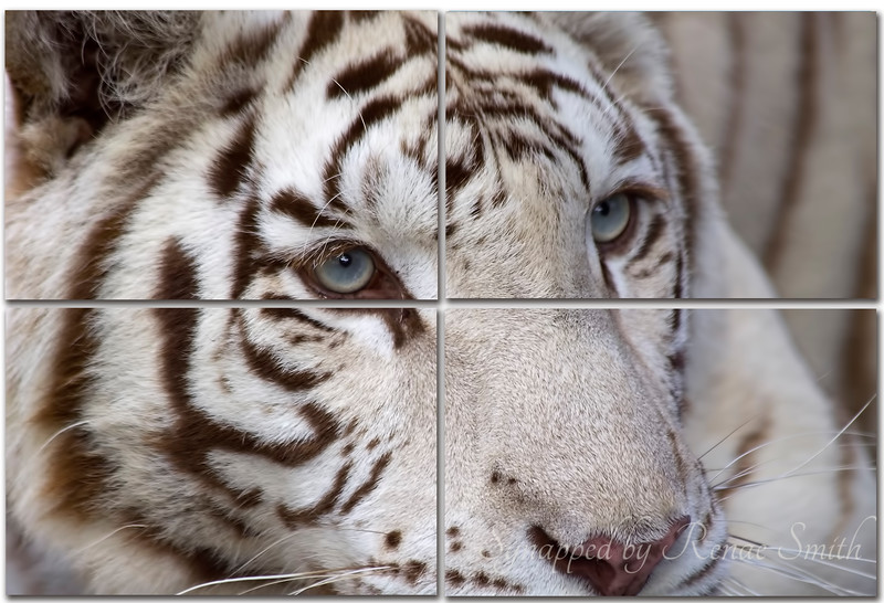 Bengal Stare -- Collage