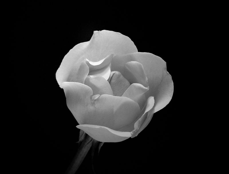 : : Diminshing : : <br /> <br />  This rose shows that even after dropping some petals, it can still inspire with its timeless elegance