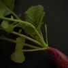 Radish Nov 2011-2