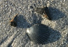 Fossilized sharks teeth 15-30 million years old, are found on Venice Island/beaches, the shark tooth capital of the world.