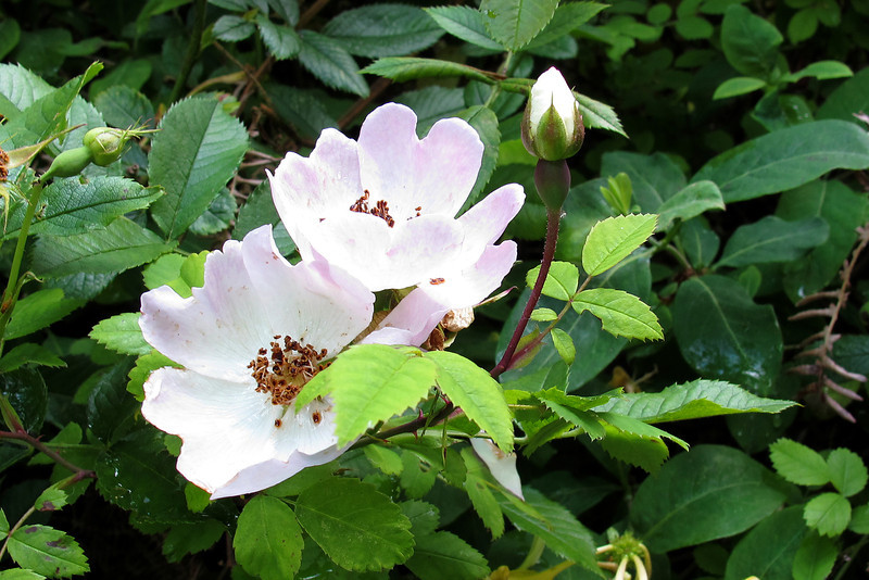A wild (dog) rose - not much to look at but having a wonderful scent