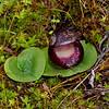 Corybas incurvus - Ararat