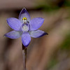 Thelymitra pauciflora<br /> Union Jack