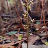 Acianthus pusillus<br /> Steiglitz