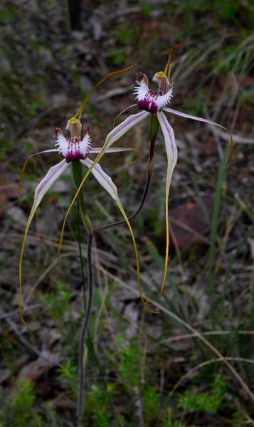Caladenia venusta x C. tentacula<br /> Anglesea