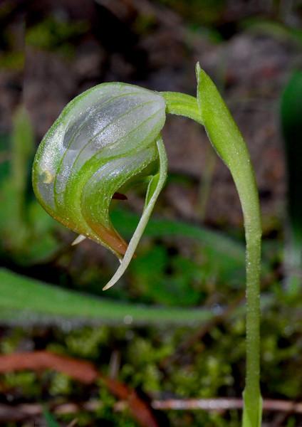 Pterostylis nutans<br /> Baluk Willam Reserve