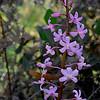 Dipodium pardalinum X D. roseum<br /> Enfield SP