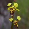 Diuris sulphurea<br /> Teesdale-Inverleigh Flora Reserve
