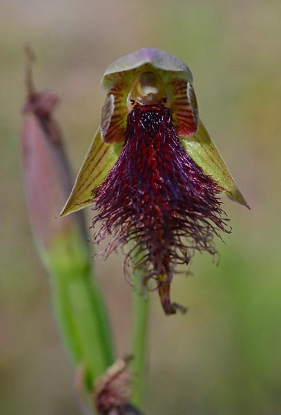Calochilus robertsonii<br /> Mt. Beckwith