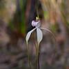 Caladenia venusta<br /> Anglesea
