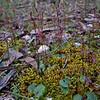 Cyrtostylis reniformis - Brisbane Ranges National Park