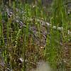 Microtis parviflora<br /> Mt. Beckwith