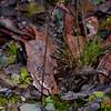 Cyrtostylis reniformis - Brisbane Ranges NP