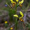 Diruris sulphurea<br /> Enfield State Park