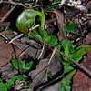 Pterostylis nutans<br /> Brisbane Ranges NP