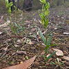 Pterostylis smaragdyna - Brisbane Ranges NP