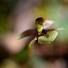 Chilloglottis trapeziformis - Inverleight-Teesdale Flora Reserve