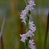 Spiranthes sinensis<br /> Durdidwarrah