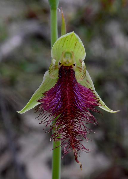 Calochilus robertsonii<br /> Union Jack