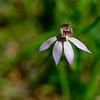 Caladenia vulgaris<br /> Union Jack