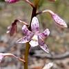 Dipodium pardalinum<br /> Enfield SP