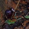 Corybas unguiculatus - Mt Difficult