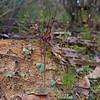 Acianthus caudatus - Brisbane Ranges National Park