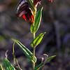 Pterostylis sanguinea - Anglesea