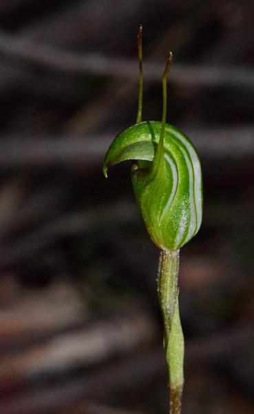 Pterostylis concinna<br /> Brisbane Ranges NP