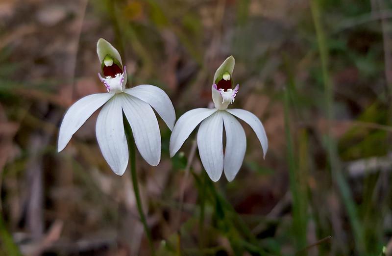 Caladenia catenata - Anglesea