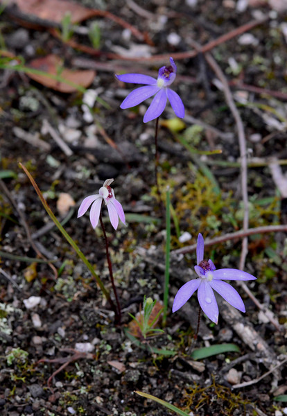 Caladenia caerulea, Caladenia fuscata - Brisbane Ranges NP