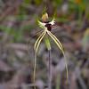 Caladenia tentacula<br /> Anglesea