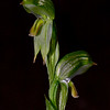 Pterostylis melagramma<br /> Brisbane Ranges NP