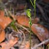 Pterostylis parviflora<br /> Enfield SP