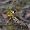 Caladenia tentacula<br /> Enfield State Park