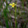 Diuris chryseopsis<br /> Teesdale-Inverdale Flora Reserve