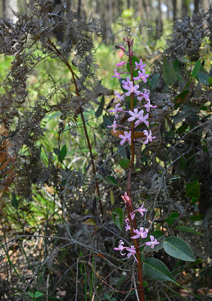 Dipodium roseum<br /> Enfield SP