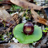 Corybas incurvus - Brisbane Ranges NP