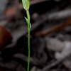 Pterostylis parviflora<br /> Brisbane Ranges NP