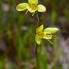 Diuris chryseopsis<br /> Teesdale-Inverleigh Flora Reserve